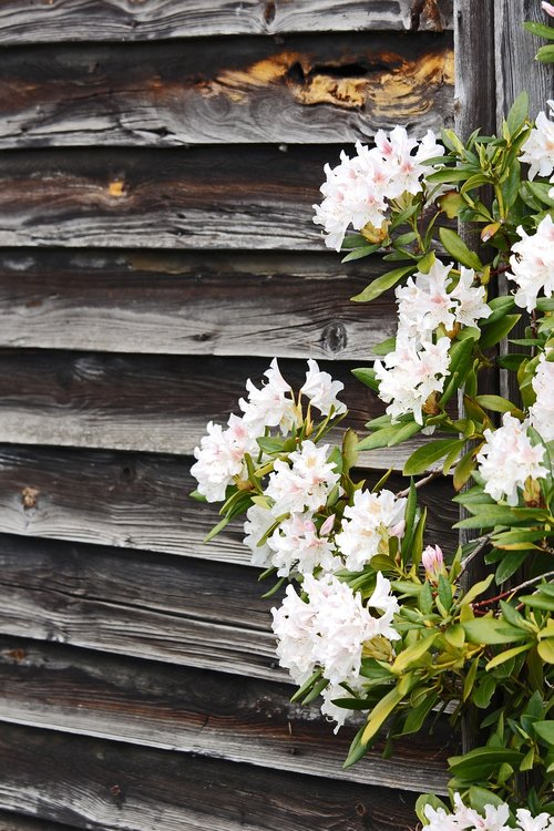 rhododendron  wooden wall  spring