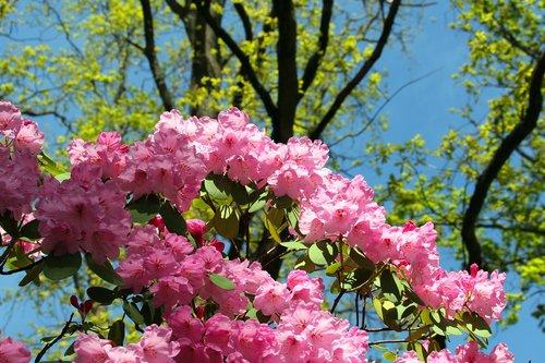 rhododendron  arboretum  park