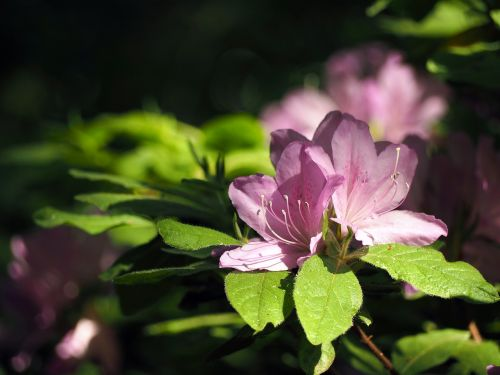 rhododendron flowers plant