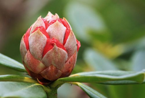rhododendron bud blossom