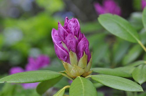 rhododendron plant garden