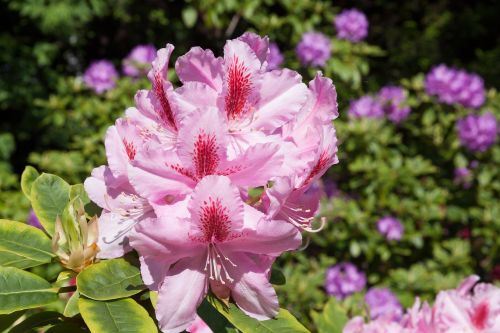rhododendron blossom bloom