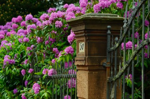 rhododendron garden spring