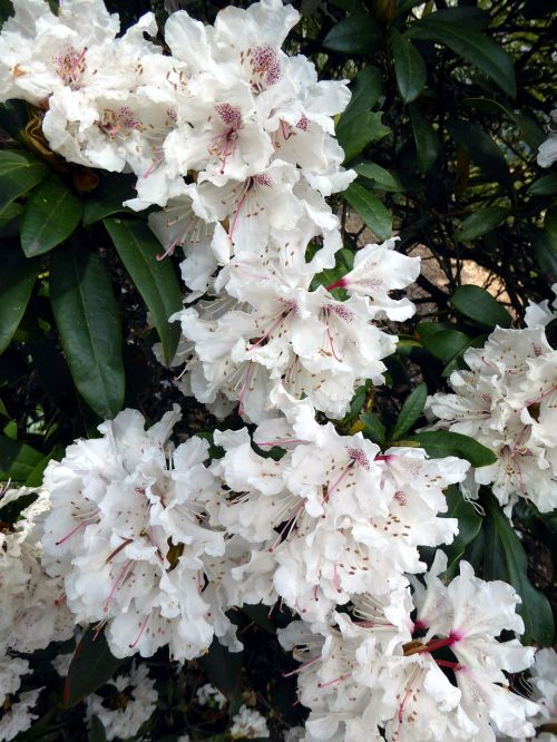 rhododendron blooming white spring