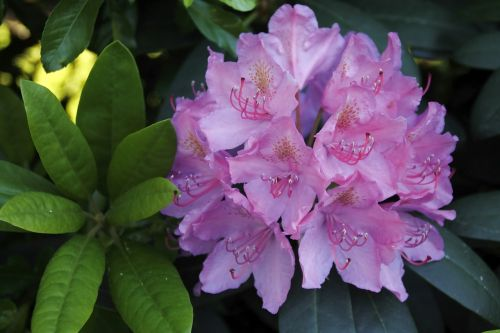 rhododendron flower,purple,tender,large,plant,nature,green,foliage plant,green plant
