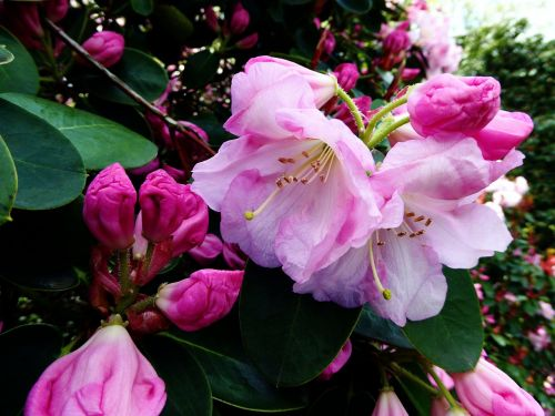 rhododendron flower,bush,close,spring,white,pink,colorful