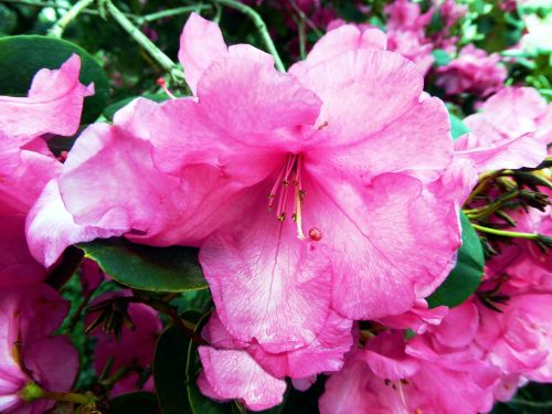 rhododendron flower,pink,bush,colorful,close,sweet,spring,nature
