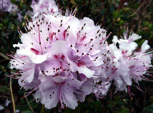 rhododendron flower,spring,public record,white,pink,sweet,pistil,nature