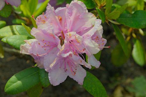 rhododendron japanese azalea japanese azalea