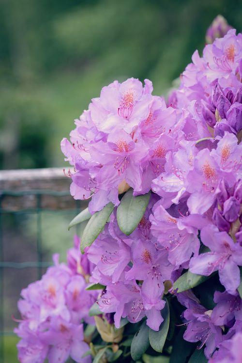 rhododendrons plant flower garden