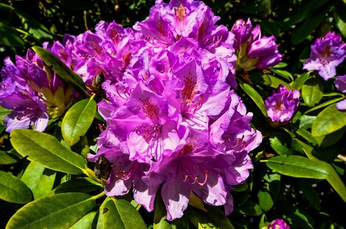 rhododendrons  ericaceae  pink