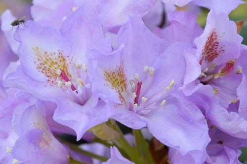 rhodondendron blossom bloom