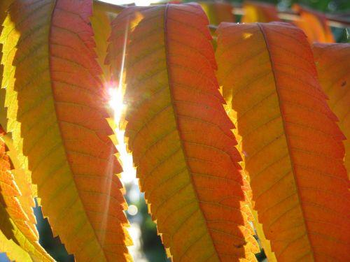 rhus leaves autumn