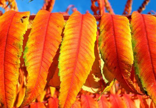 rhus vinegar tree leaves deciduous