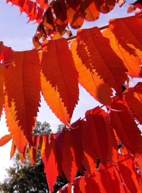rhus colorful autumn