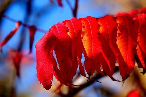 rhus  autumn  leaves