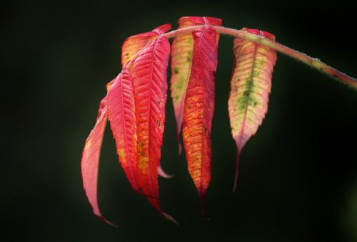 rhus fall foliage autumn colours