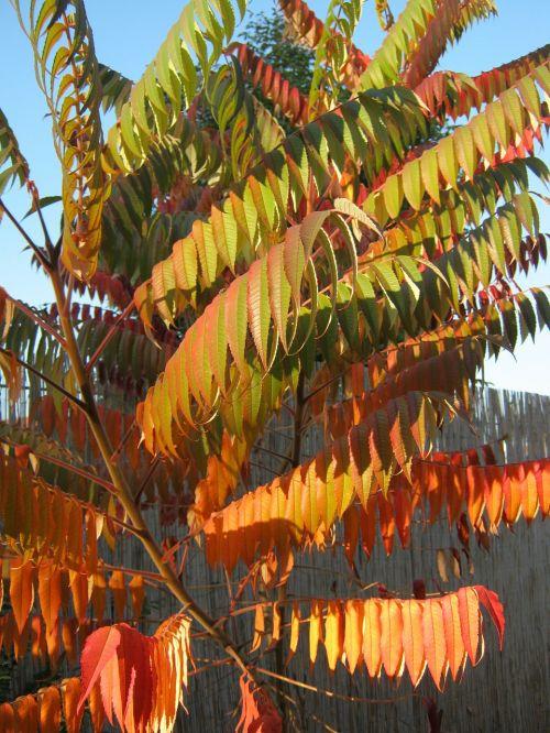 rhus autumn colorful