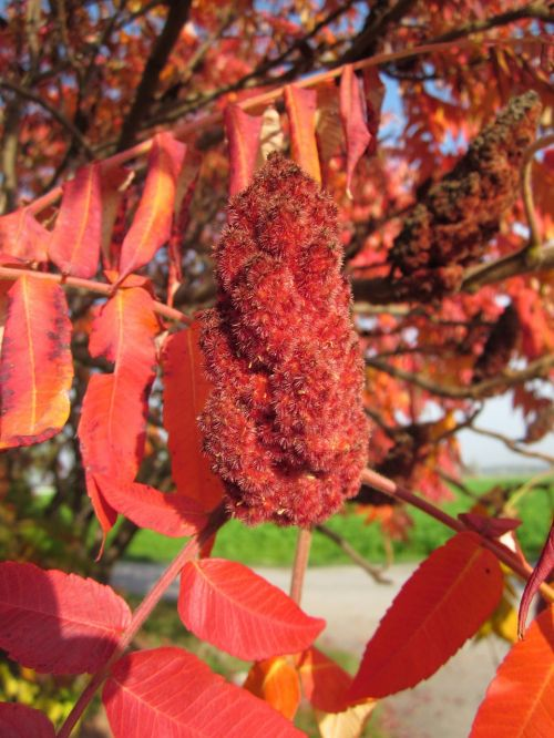rhus typhina staghorn sumac tree