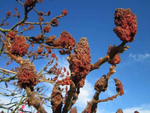 rhus typhina staghorn sumac stag's horn sumac