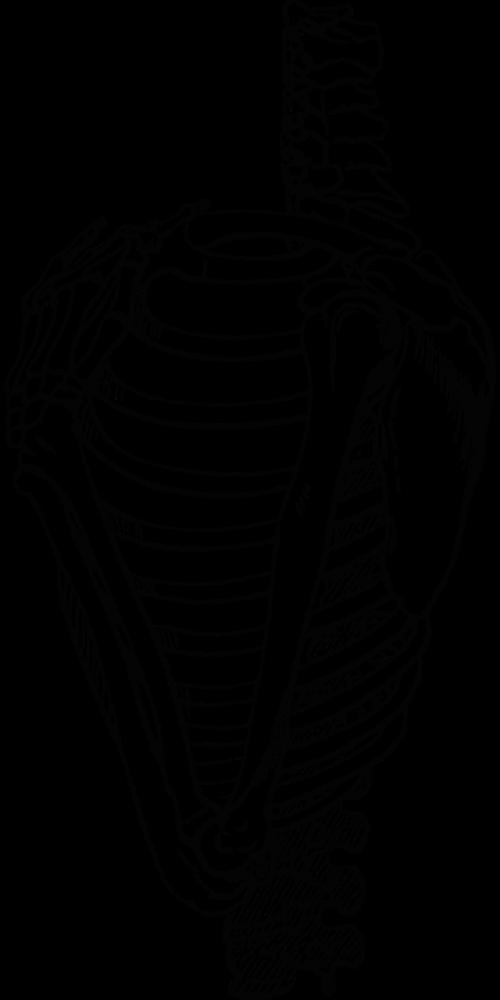 šonkauliai,briaunelė,kaulai,skeletas,kūnas,vektorius,laisvas vektorius,anatomija,medicinos,nemokama vektorinė grafika