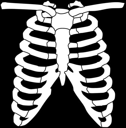 ribs skeleton human