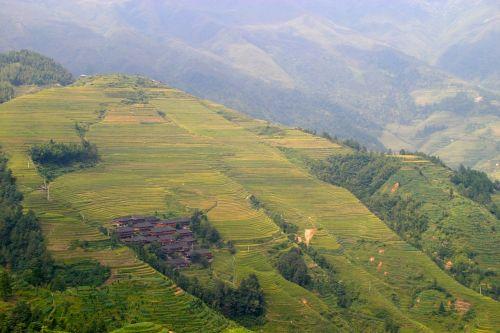 rice plantation rice plantations
