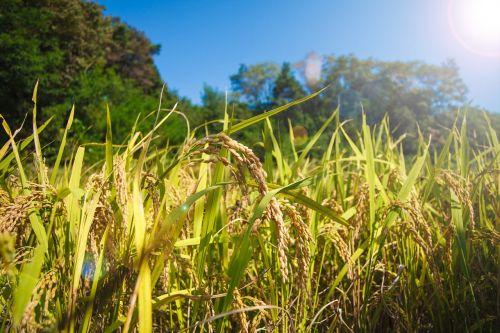 rice farming grain