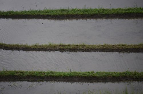 rice rice field irrigation
