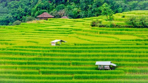 rice field farm