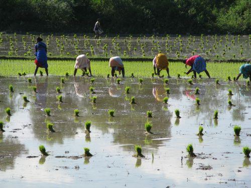 ryžiai,ryžių augalai,Indija,Pietų Indija,vandenys,atspindys,ūkininkai,upė