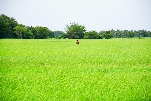 rice  rice field  rice farm