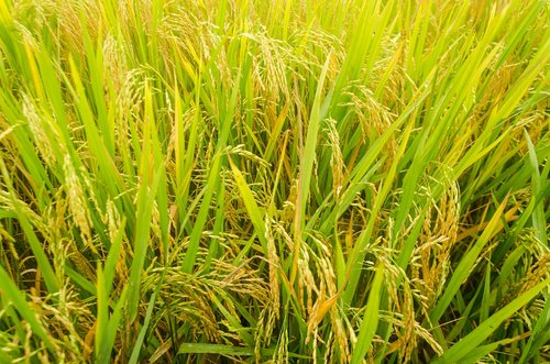 rice  cooked rice  flowering