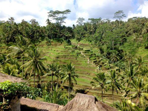rice green palms