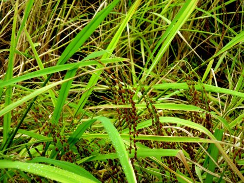 rice crops food