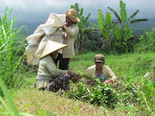 rice field peanut bali