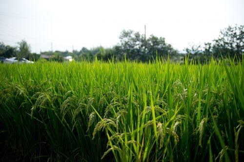 rice paddies sulawesi ch