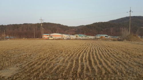 rice paddies rice farming perak light farming