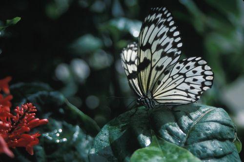 ryžių popieriaus drugelis, vabzdys, makro, gamta, lauke, spalvinga, trapi, sparnai, antenos, sodas, lapai