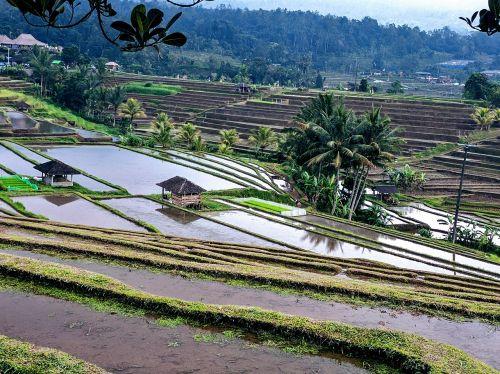 rice terrace rice fields rice paddies