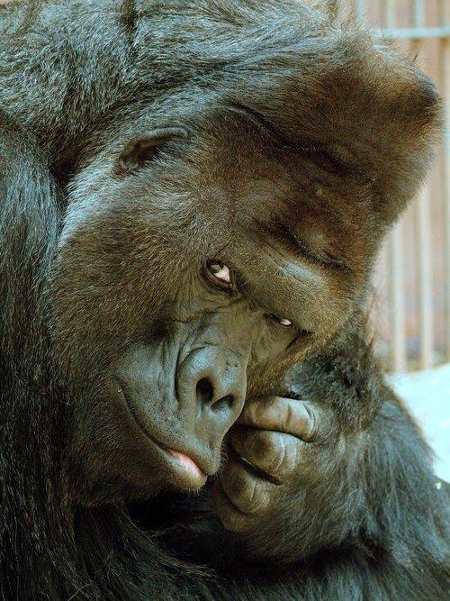 richard  gorilla  animal