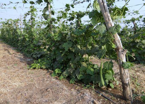 ridge gourd turai vine