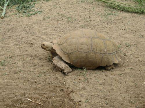 rießenschildkröte turtle meeresbewohner