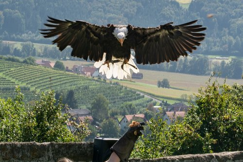 riegersburg  raptor  bird of prey