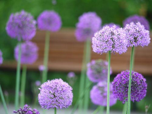 riesen leek flowers