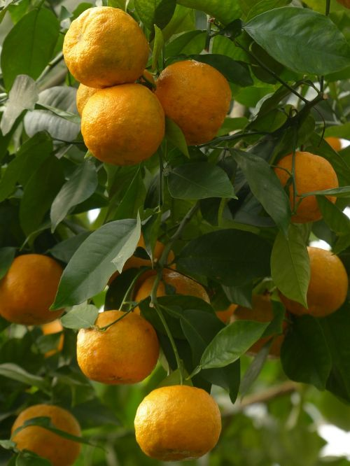 rind fruits bitter oranges