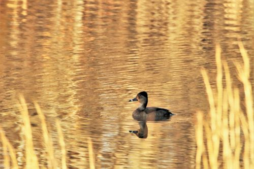 Ring-billed Duck On Golden Pond