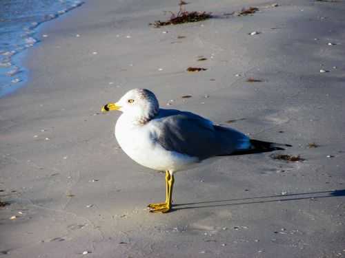 ring-billed gull sea gulls
