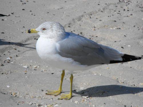 ring billed gull gull bird
