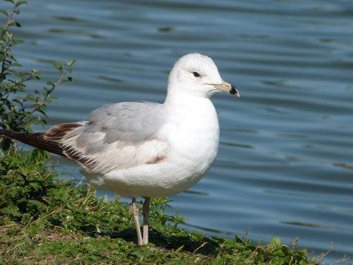 ring-billed gull seagull bird watching